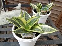 サンセベリアゴールデンハニー3.5号サイズ鉢植え空気清浄観葉植物販売通販種類
