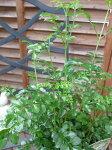 シマトネリコ4号サイズ鉢植え室内観葉植物販売通販種類