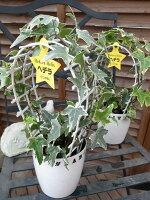 斑入りアイビーアーチ仕立て4号サイズ鉢植え室内観葉植物販売通販種類