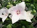 【ポイント10倍】桔梗 キキョウ ピンク 星型の花 販売 通販 種類 ききょう 花苗 花芽付