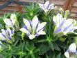 敬老の日 リンドウ 心美白寿 4.5号サイズ 鉢植え25cm 複色咲きの花 多年草 販売 通販 種類 あす楽対応