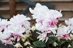 シクラメンローゼスピンクバイカラー5号サイズ鉢植え万重咲きシクラメン希少品種販売通販種類