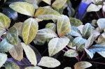 クリスマスローズリビダスゴールデン原種クリスマスローズリビダスの斑入り選抜種クリスマスローズ販売通販種類