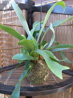コウモリランコケダマ苔玉シルバーブルーの葉苔玉部分は直径10cm程、葉は広がると40cm程和名はビカクシダ