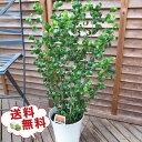 ベンジャミン バロック 6号サイズ 鉢植え ベンジャミン 高さ60cm 観葉植物 送料無料 ベンジャミン 観葉植物 ベンジャミン 室内インテリア用 観葉植物 スタイリッシュな鉢植え グリーン