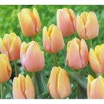 チューリップ球根JAPANフラワ−バルブオブイヤーマンゴーチャーム3球【チューリップ】【球根】【Tulip】販売通販種類【ちゅーりっぷ】
