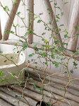 ソフォラミクロフィラリトルベイビー苗屈曲した枝につく小さな葉が可愛らしいメルヘンチックな植物メルヘンの木高さ40cm販売通販種類