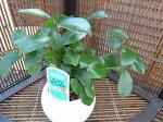 ニンジンガジュマル丸陶器鉢観葉植物艶やかなグリーンが魅力で室内テーブルグリーンに最適4号サイズ鉢植え販売通販種類