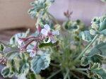 ナツメグゼラニュームマーブルミルク苗小葉にマーブルの斑入ピンクの小花販売通販種類ゼラニウム3号サイズ