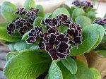 八重咲きジュリアンロイヤルパープルエッジ苗販売通販種類