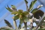 原種クリスマスローズリビダス苗グリーンの小花花芽付き