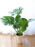 モンステラ6号サイズスタイリッシュ鉢70センチ艶やかなグリーンに切れ込みのある葉が特徴のモンステラ観葉植物新築祝などに人気なグリーン室内観葉