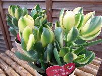 花月きらめき4号鉢多肉植物タニクショクブツ縁起の良い小判のような葉形で金のなる木