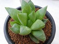 多肉植物ハオルチア宝草タニクショクブツタカラグサHaworthia販売
