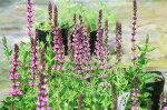 サルビアネモローサローズ苗毎年楽しめる花でイングリッシュガーデン等に向く花高さ20cmセンチ