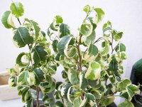 フィカスBバロック斑入り3号ポット苗希少種!ベンジャミンバロック観葉植物