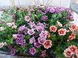 カリブラコア ティフォシー アンティークシリーズ 3.5苗3株セット 新品種 花芽付 植物 販売 ガーデン ガーデニング