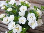 カリブラコアティフォシーダブルホワイト3.5号苗花芽付植物販売ガーデンガーデニング