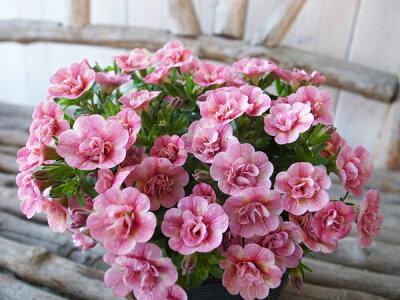 カリブラコアティフォシーダブルピーチイエロー3.5号苗花芽付植物販売ガーデンガーデニング