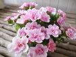 カリブラコア ティフォシー ダブル ベビーピンク 3.5号苗 花芽付 植物 販売 ガーデン ガーデニング