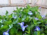 宿根ロベリアナツコブルーアイ3号苗チョウチョのような可愛らしいブルーの花を咲かせてくれる宿根草