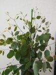 ユーカリポポラス7号鉢送料無料観葉植物高さ120cmセンチ