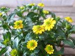サンビタリアサン!サン!サン!3.5号苗多年草従来品種よりも小葉で乾燥にも強いイエローの花