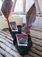 カンナインディアンオレンジ苗銅葉が魅力3.5号サイズのポット苗で高さ20cmセンチ