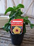 ハイビスカスサハラウィンド苗花芽付3.5号サイズのポット苗