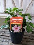 ハイビスカスキャバレーブリーズ苗花芽付3.5号サイズのポット苗