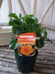 ハイビスカスカロライナブリーズ苗花芽付3.5号サイズのポット苗