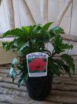 ハイビスカス濃いピンク苗花芽付3.5号サイズのポット苗