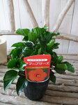 ハイビスカスラーゴブリーズ苗花芽付3.5号サイズのポット苗夏花半耐寒性多年草