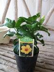 ハイビスカスイエロー苗花芽付3.5号サイズのポット苗夏花半耐寒性多年草