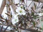 レプトスペルマムカッパーグローティーツリーギョリュウバイ5号サイズの鉢植えで高さ50cmセンチ