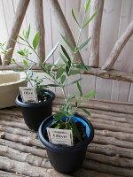 オリーブネバディロブランコ4号鉢テーブルサイズ観葉植物