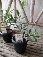 オリーブフラントイオ4号鉢テーブルサイズ観葉植物