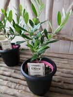 オリーブアルベキナ4号鉢テーブルサイズ観葉植物