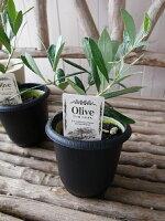 オリーブワッガベルダル4号鉢テーブルサイズ観葉植物