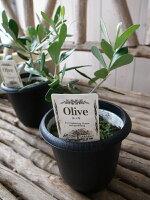 オリーブルッカ4号鉢テーブルサイズ観葉植物