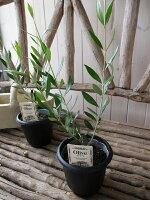 オリーブコロネイキ4号鉢テーブルサイズ観葉植物