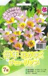 チューリップサクサティリス7球セット植えっぱなしで毎年花が咲くちゅーりっぷ球根