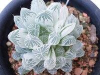多肉植物ハオルチアアイススプラウト3.5号サイズタニクショクブツ室内や半日陰での管理がお勧め観葉植物通販
