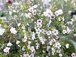 マイクロワックス3.5号サイズ鉢植え花は桃がかった白花で非常に細かな花ホワイト鉢花高さ30cmセンチ