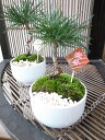 迎春 アレンジ お正月 ミニ黒松盆栽 3号 陶器鉢 高さ15cmセンチ 玄関飾り テーブル上にすぐに飾れるコンパクトサイズのミニ盆栽 販売 通販 送料無料