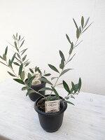オリーブの木ゴルダル4号鉢テーブルサイズオリーブ鉢植えで高さ20cmから40cmセンチ観葉植物苗木