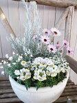 【送料無料】エレモフィラピンクレモネードエルフピンクイベリス花かんざし5株寄せ植えセット