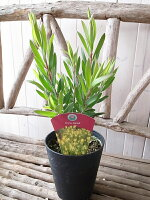 リューカデンドロンインカゴールドIcnaGoid鉢植え5号サイズ高さ45cmセンチ