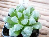 多肉植物ハオルチアオブツーサ魔王3号サイズ鉢植え希少タニクショクブツ