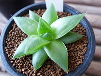 多肉植物ハオルチアシンビフォルミスFtジャクソン2.5号サイズ鉢植え希少タニクショクブツ
